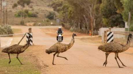 There was little that could be done about the emus besides monitor and move them on. Picture: Bernard Humphreys