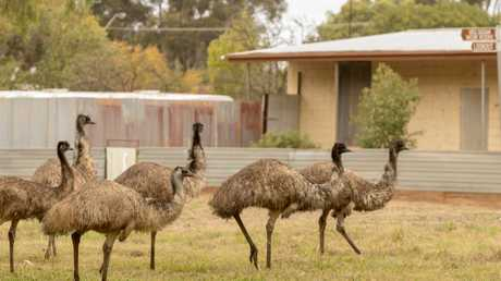 The native birds have wandered in search of food and water, after little to no rainfall. Picture: Bernard Humphreys