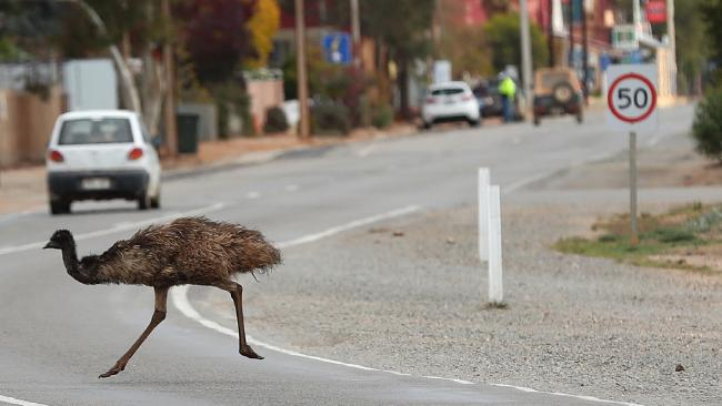 An emu dashes across the road near Peterborough. Picture: Tait Schmaal