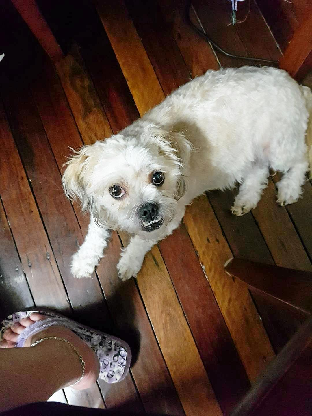 GONE: Four-year-old Maltese Shih Tzu cross has been missing from the Neptune and Alice Sts area in Maryborough.