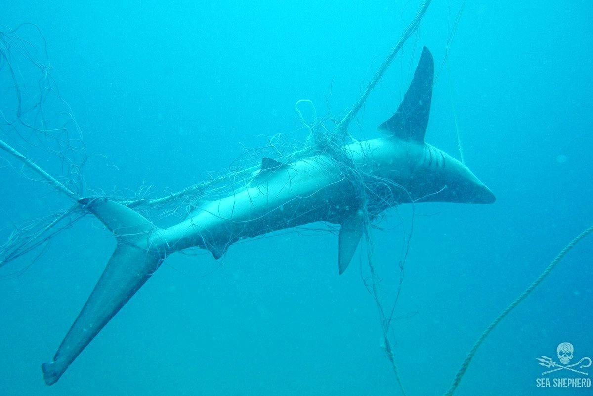 A 1.5m Dusky Whaler shark found dead in a shark net by Sea Shepherd divers. Photo: Sea Shepherd Australia.