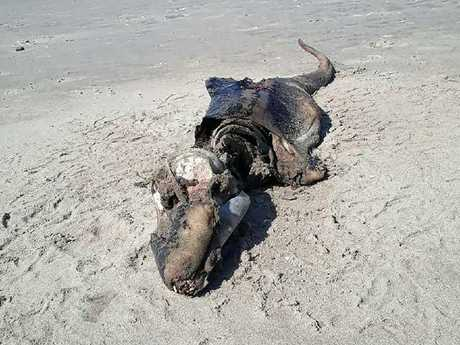 A mysterious sea creature has washed up on Rhossili Beach in Wales. Picture: Wales News Service/Australscope