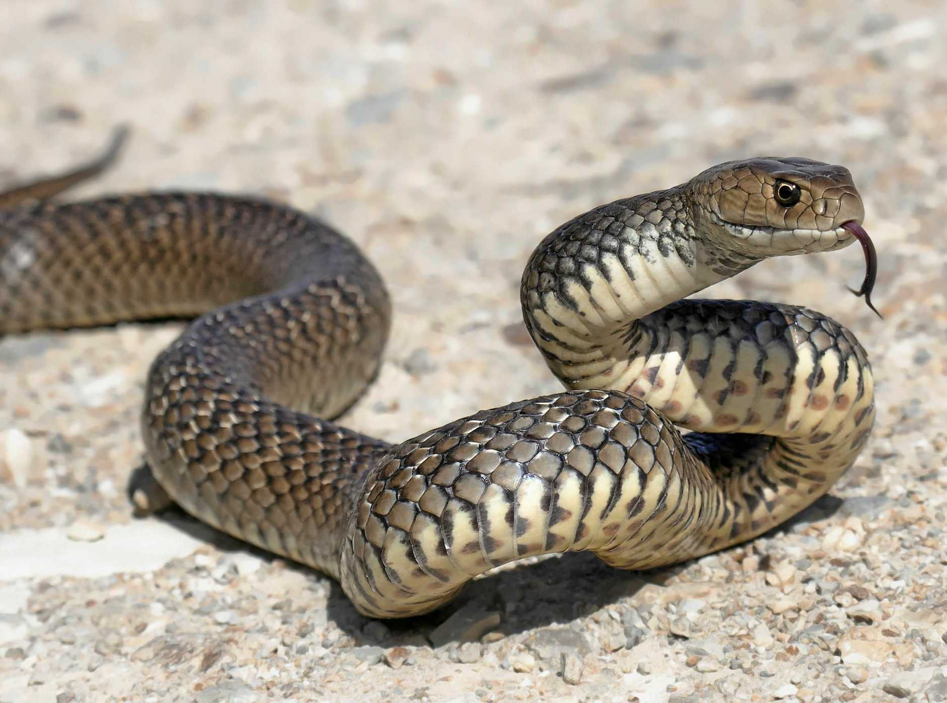 SURPRISE: Kirra Nate Rivers was bitten by what she suspects was a juvenile brown snake earlier this week.
