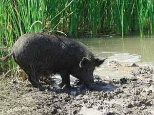 $1 million to eradicate feral pigs