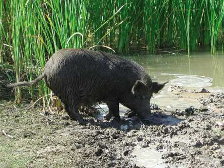 The $1 million eradication program aims to wipe out Far North Queensland's feral pig population.