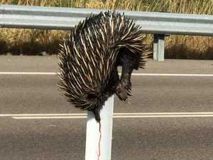 Outrage as echidna impaled on post