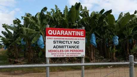 The State Government is attempting to stop the spread of Panama disease, which could cripple the Australian banana industry. Picture: Stewart McLean