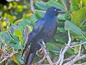 Torresian Crow an urban bird