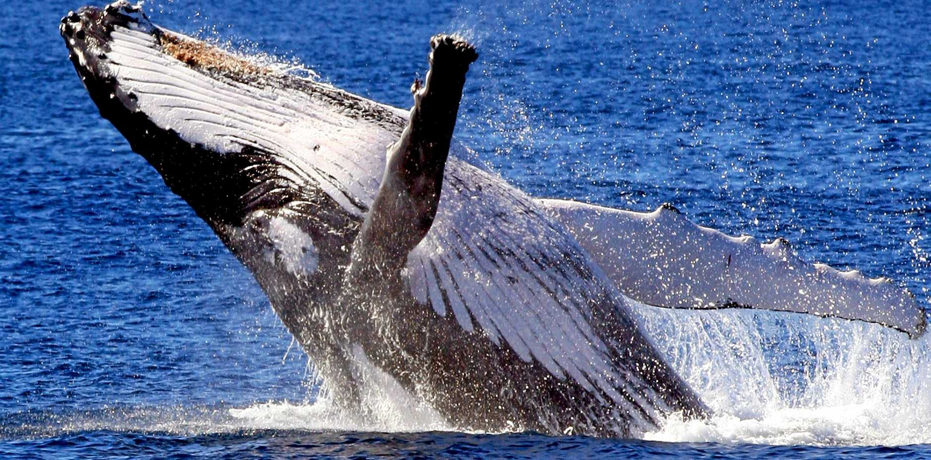 YOU BEAUTY: A whale spotted during a Coolangatta Whale Watching cruise.