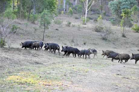 Feral pig populations are having devastating affects for farmers, rangers and landowners.