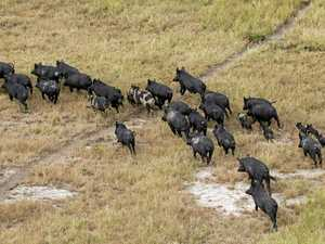 $1m to control feral pigs? That's no blitzkrieg: Perrett