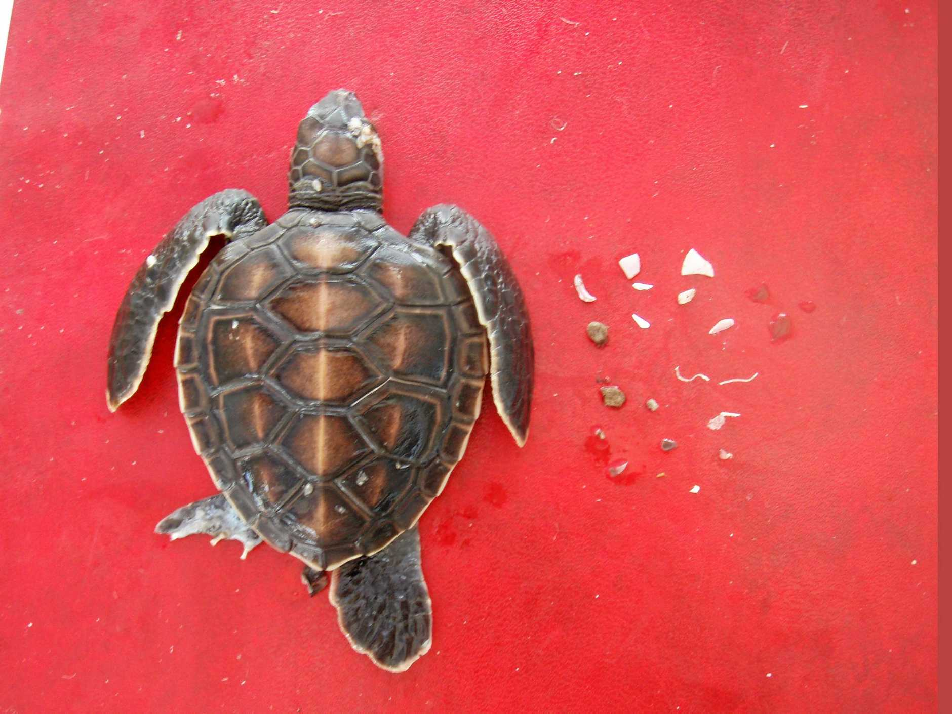 A young turtle and the marine plastics it has ingested.