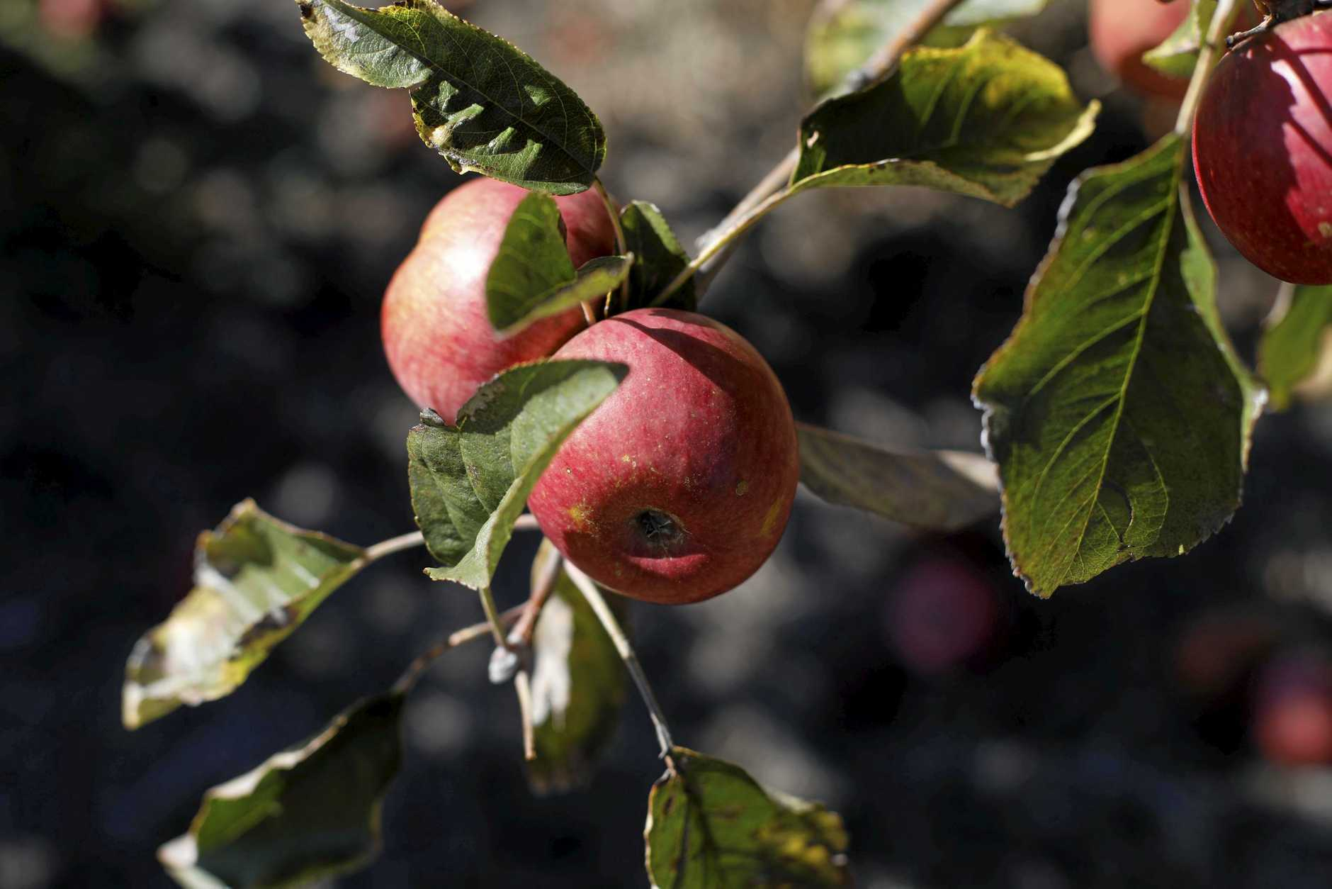 There are about 30 apple varieties at Sutton's farm in Applethorpe.