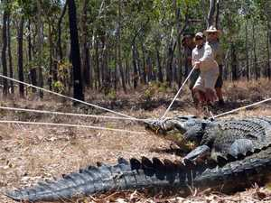 Could Qld be home to bigger crocs than NT?
