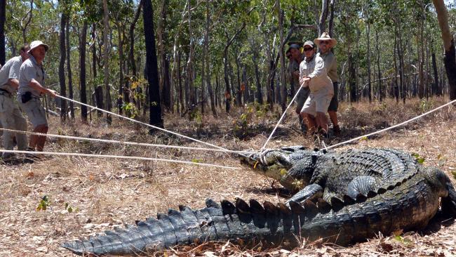 Australia Zoo croc team safely restraining a large estuarine crocodile at Wenlock River. Photo by: Craig Franklin