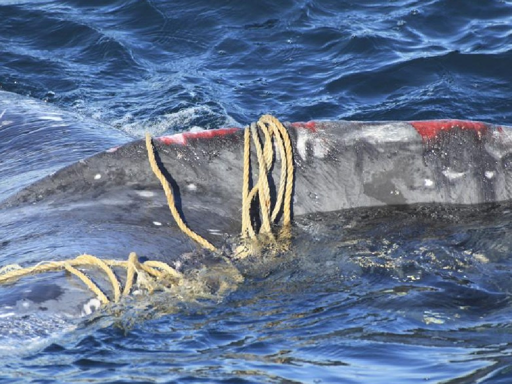 A humpback whale is entangled in rope off North Bondi in Sydney. Picture: Whale Watching Sydney