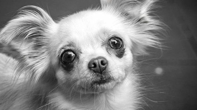 A man has been convicted of animal cruelty after he hurt a chihuahua. File photo.