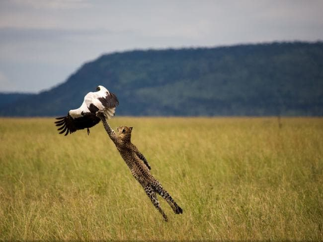 "Leopard Hunting a Stork by Paul Rifkin. ""One shot capture. I watched the leopard stalking the stork, I only had time to focus at 400mm, no time to change to high speed, I watched the stork and as soon as it flapped it's wings I shot one shot,"" the photographer said. Picture: Paul Rifkin/National Geographic Travel Photographer of the Year Contest"