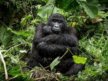 Safe by Mark Paul. The photographer took the photo just a few metres away from a mother gorilla and her child in Uganda. Picture: Mark Paul/National Geographic Travel Photographer of the Year Contest