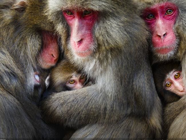 "The Highly Tolerant Society by Hidetoshi Ogata. ""On a cold winter day, I captured the moment when mother monkeys formed a huddle after social grooming in Awaji Island,"" Ogata said. ""Japanese monkeys are generally considered to be despotic and aggressive, but they are building a social relationships with mutual benefits."" Picture: Hidetoshi Ogata/National Geographic Travel Photographer of the Year"
