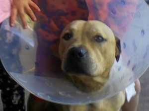 Pet dog's testicles zip-tied in horrific act