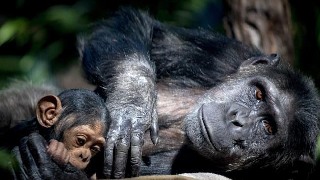 Mum, Leakey, with her four month-old baby, Capri, at Rockhampton Zoo.