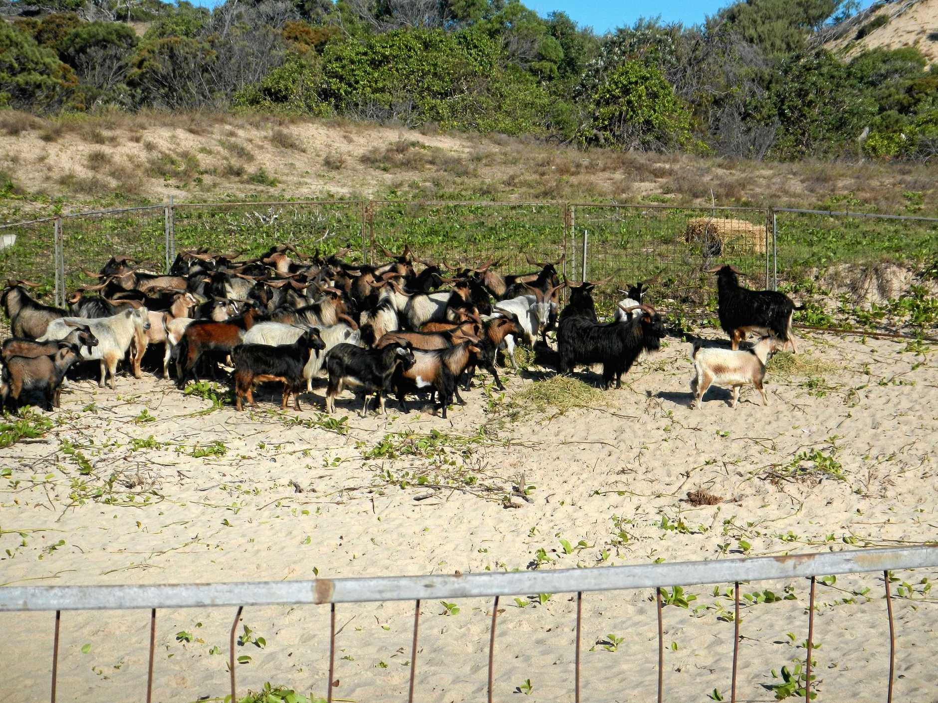 Some of the feral goats removed from Great Keppel Island.Photo contributed.