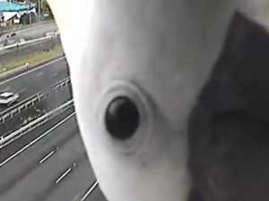 Cockatoo blocks traffic camera