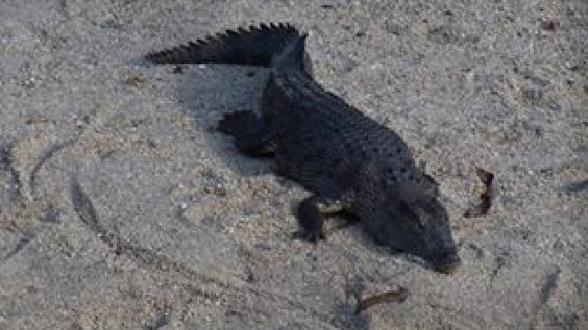 Series of photographs of a 3m saltwater crocodile spotted near Wonga Park, Babinda. Photo: Facebook