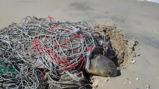 Anindilyakwa Rangers in the NT find a flatback turtle stuck in a net.