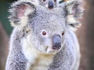 Strategy offers 'no substantial' koala protection: NEFA