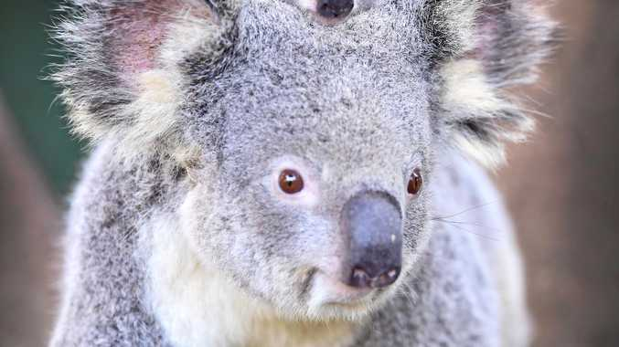 NEFA analysis claims only 2% of high quality habitat has been set aside as koala reserves.