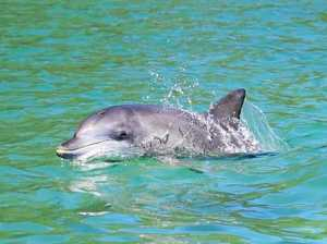 Investigation into health of Ballina's much loved dolphins