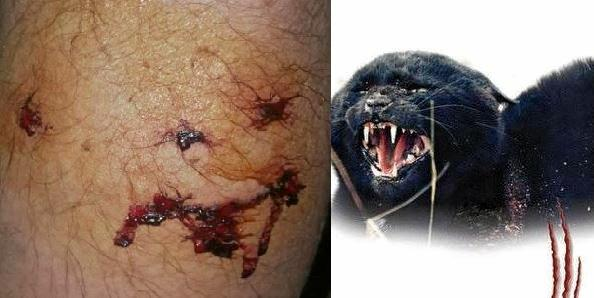 A Gympie man was attacked by a feral cat as large as a cattle dog on the weekend.