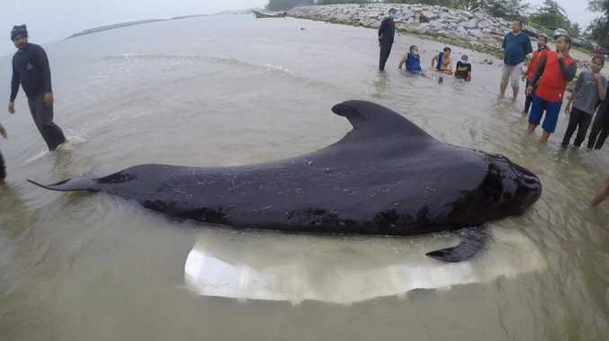 A whale has died in southern Thailand after swallowing more than 80 plastic bags Picture: AFP
