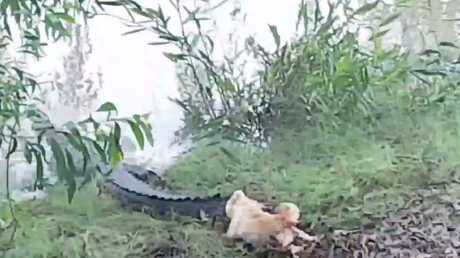 Plucky pooch Dumb Blonde had no qualms about giving the massive reptiles what-for at Goat Island Lodge. Picture: YouTube