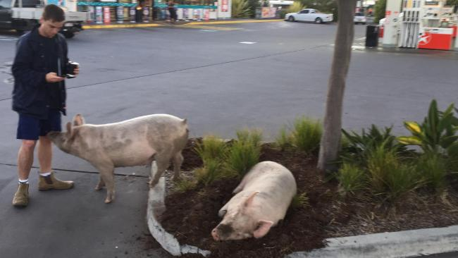 The two pigs have been popular with customers to the petrol station.
