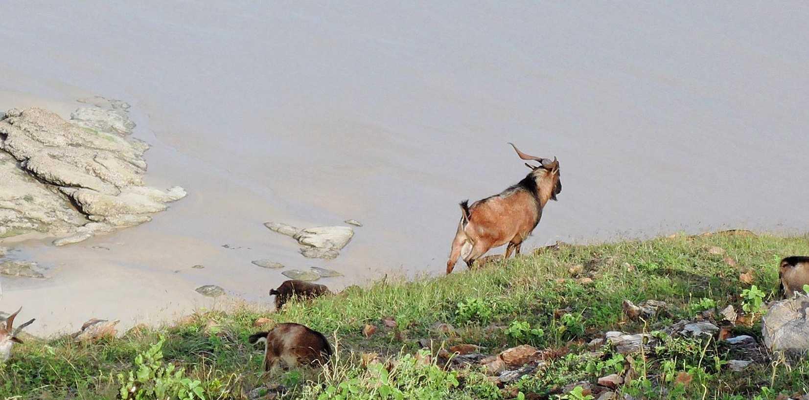 NICE VIEW: Feral goats graze along barren ridgeline on  Great Keppel Island. Inset: Gerry Christie, of Island Pizza.