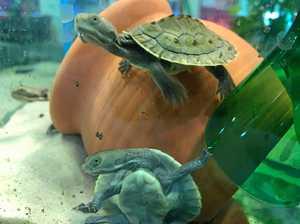 WATCH: Brazen turtle napper caught on CCTV