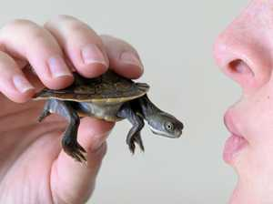 Turtle returned to West Ipswich pet store