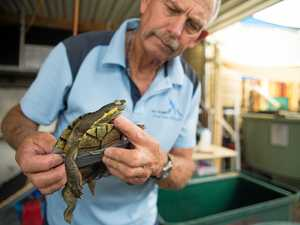 Saving the Bellinger River Snapping Turtle