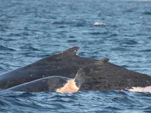 Have you seen this seriously injured whale?