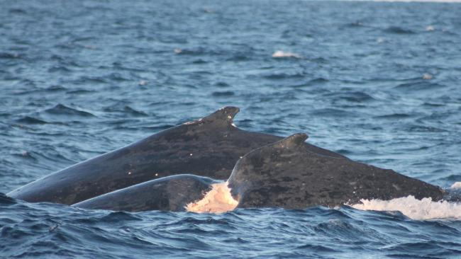 The seriously-injured, make humpback whale spotted off the Gold Coast two days ago. Pic: Whales in Paradise.