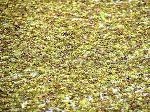Aquatic weeds invade Banora Point