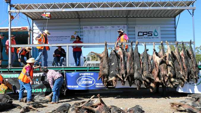 HEAVY WEIGHTS: Officials rack up some of the 248 pigs weighed in the  King and Queen CQ Big Boar Hunting Competition.