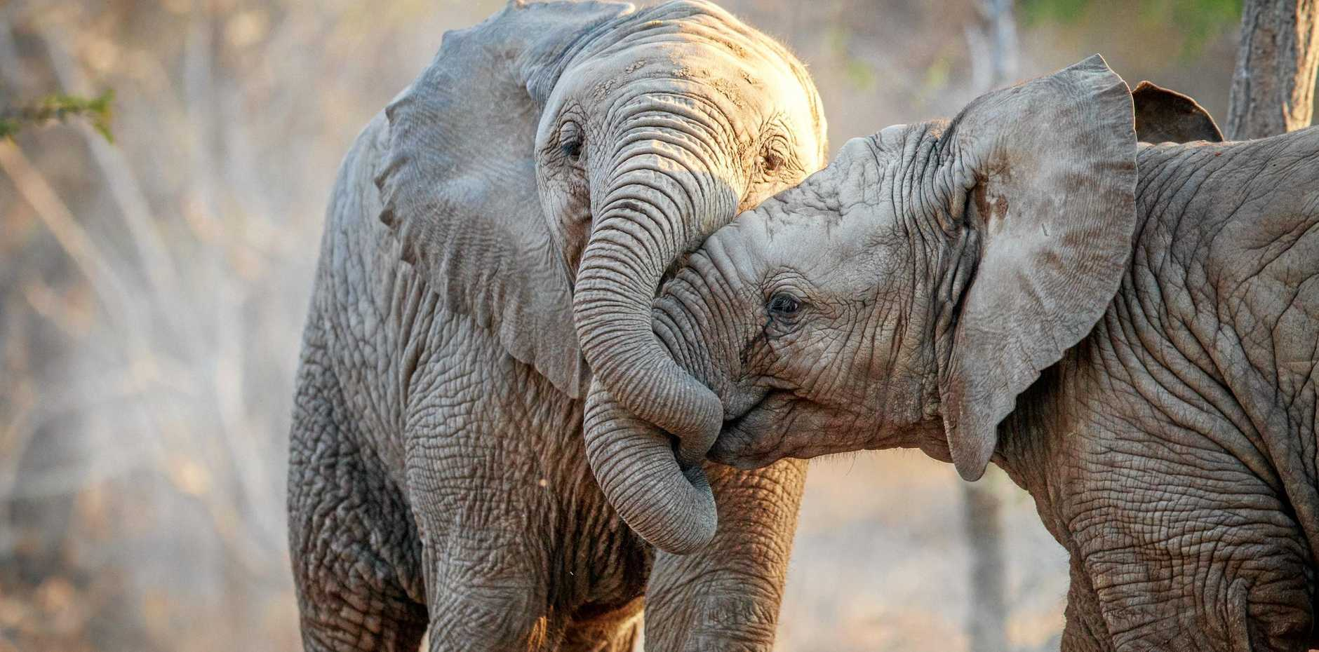 Two Elephants playing in the Kruger National Park, South Africa.