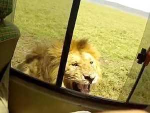 Terrifying moment a tourist pats a wild lion