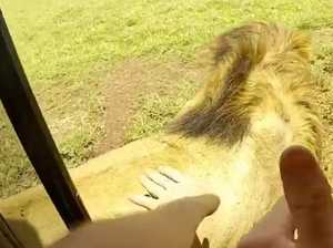 Terrifying moment a tourist pats a wild lion