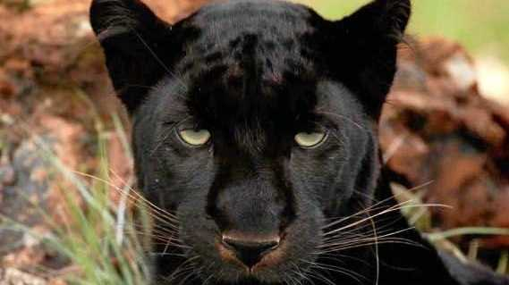 'Panther' on the prowl in southeast Queensland