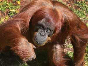 World's oldest orangutan dies at WA zoo